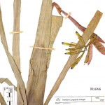 Billbergia_distachia