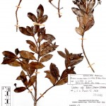 Ocotea_colophanthera