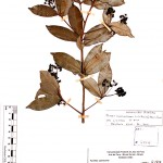 Ocotea_colophanthera1