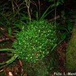 (Piperaceae)Peperomia_martiana_interior_cânion