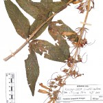 Sinningia_sceptrum